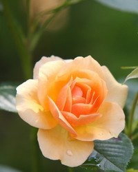 Donna Rose Kohnke Gossett  June 15 1944  July 7 2019 (age 75)