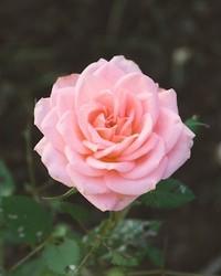 Rosa Toledo  October 8 1924  January 15 2020 (age 95)